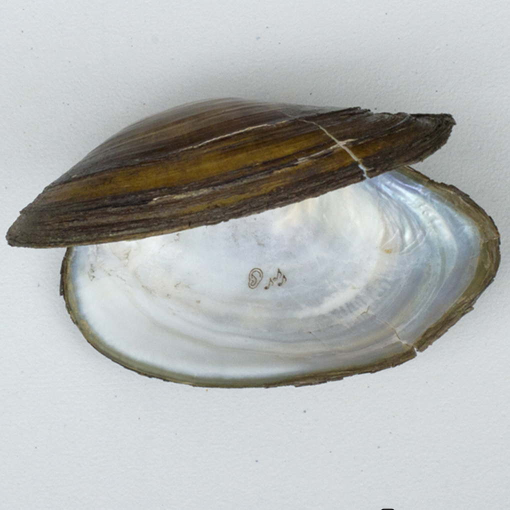 Shell from the Vistula River